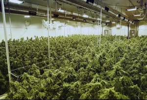 Commercial cannabis growing