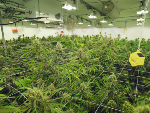Commersial cannabis growing