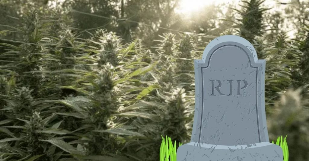 Marijuana plants and a gravestone