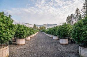 Outdoor Cannabis Garden